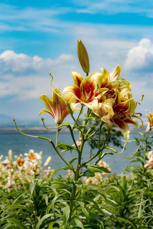 まっすぐに伸びるゆりの花
