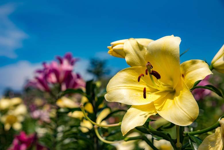 鮮やかなゆりの花